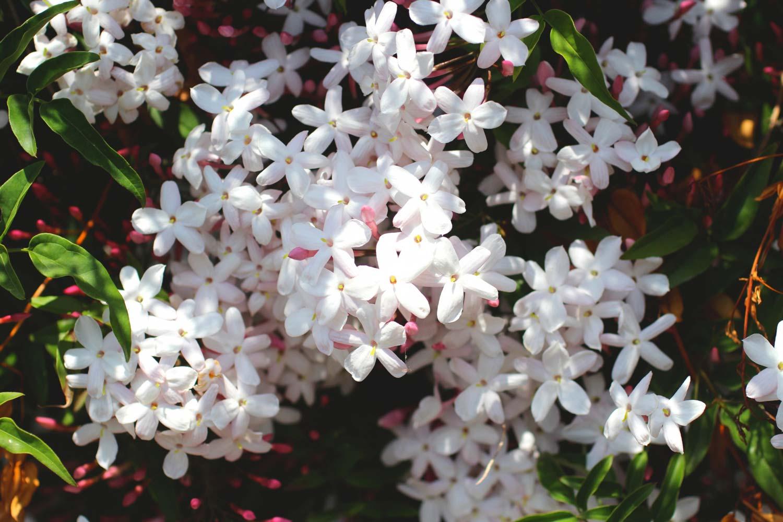 ジャスミンの花 お茶の教室和漢ハーブ 瀧鳳凰